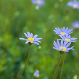 Felicia-amelloides-Margarita-azul-Agatea-270x270